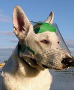 visor to protect your dogs eyes... works great to protect the eyes of a blind dog.