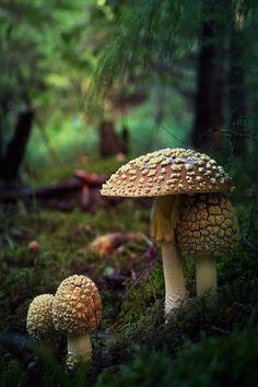Mushroom Art, Mushroom Fungi, Wild Mushrooms, Stuffed Mushrooms, Mushroom Pictures, Enchanted Wood, Slime Mould, Samhain, Macro Photography