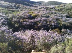 Wild lilacs at Iron Mountain in San Diego County.