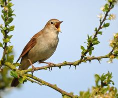 pictures of nightingale birds - Google Search