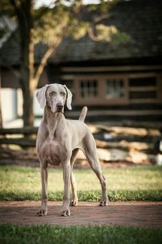 This Weimaraner is protecting his home, what a great dog!