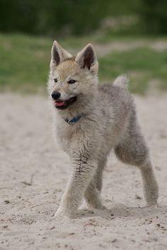 Baby direwolf!