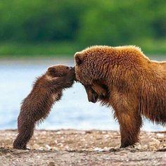 Brown bear mom and cub.