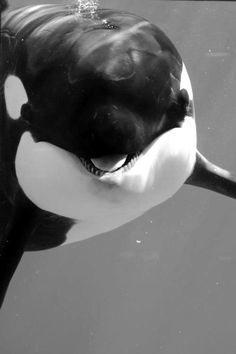 Playfully Smiling Orca Whale …