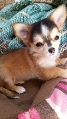 Beautiful puppy! ADORABLE chihuahua