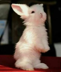 The fluffiest bunny cute animals крольчата, самые Baby Animals Super Cute, Cute Baby Bunnies, Funny Bunnies, Cute Little Animals, Cute Babies, Bunny Bunny, White Bunnies, Cute Pets, Cutest Bunnies
