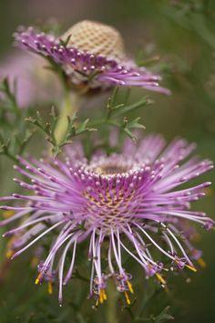 Amazing Unusual Plants To Grow In Your Garden Unusual Flowers, Unusual Plants, Rare Flowers, Flowers Nature, Amazing Flowers, Purple Flowers, Beautiful Flowers, Beautiful Gorgeous, Simply Beautiful