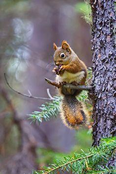 About delicious fir cones by Elena Solovieva / Animals And Pets, Baby Animals, Funny Animals, Cute Animals, Beautiful Creatures, Animals Beautiful, Cute Squirrel, Squirrels, Tier Fotos