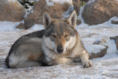 2. Czechoslovakian Vlcak (Wolfdog) — For pricing, check the airlines