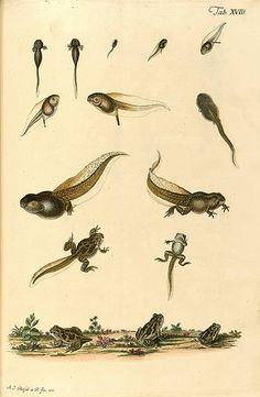 Historia naturalis ranarum nostratium 1758, tadpoles, frogs, illustration, engraving, natural history