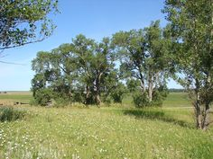 The actual cottonwood trees planted by Pa (Charles Ingalls) in the book On The Banks of Plum Creek. Near Walnut Grove, MN. Beautiful photo!