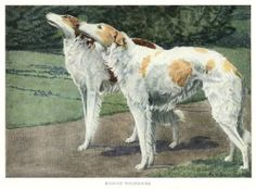 1919 RUSSIAN WOLFHOUND ILLUSTRATION, from National Geographic magazine, by Louis Agassiz Fuertes