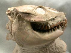 Oligocene Leptauchenia Fossil Oreodont Skull from Badlands    Leptauchenia nitida (Oreodont)  Class Mammalia, Order Artiodactyla, Suborder Oreodonta, Family Merycoidodontidae, Subfamily Leptaucheniinae   Geological Time: Upper Oligocene  Size: 65 mm tall, 70 mm wide, 85 mm in length  Fossil Site: White River (Brule) Formation, South Dakota