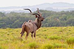Kudu, my favorite animal