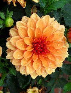 Dahlia, Kentlands, Home Garden IMG_9231