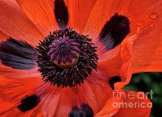 Giant Poppy by Norman Gabitzsch