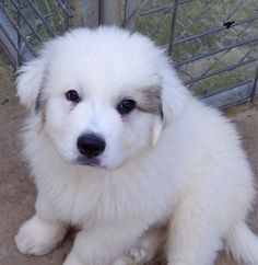 Great Pyrenees Photos Pictures Great Pyreneess