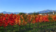 Agriturismo La Faula, Friuli Venezia Giulia, Italy. Wine from organic grapes http://www.organicholidays.co.uk/at/2645.htm