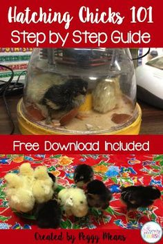 Hatching chicks in the classroom 101: Tips and Resources. Hatching chicks in the classroom is probably my favorite activity every year! Not only is it a wonderful hands-on life science lesson, hatching chicks in the classroom also creates the perfect sta