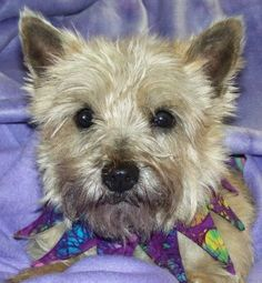 Cairn Terrier up for adoption http://adopt.cairnrescue.com/index.php#6384