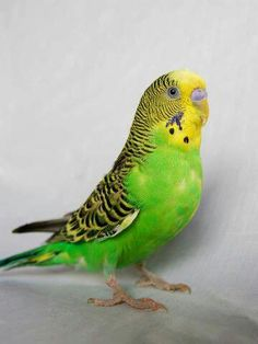 """My first pet was a sweet green boy named Feather. I wanted to call my parakeet Polly, but we quickly learned that the blue on the """"nose"""" signifies it is male. Budgie Parakeet, Budgies, Classroom Pets, Old Family Photos, Bird Toys, Animal House, Little Birds, Bird Feathers, Funny Cute"""