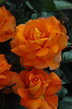 'Sparcle' | Hybrid Tea Rose. Fryer 2009