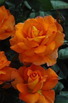 'Sparcle' | Hybrid Tea Rose. Fryer 2009