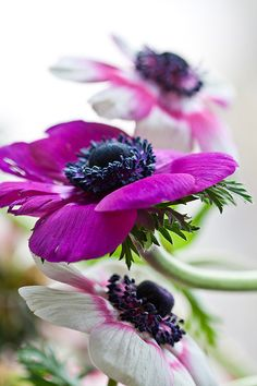 Anemone  8x10 Fine Art Photograph by UnaPhoto on Etsy, $19.00