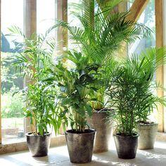 Le palmier, avec toute son ampleur, est une belle plante pour un intérieur spacieux et lumineux.