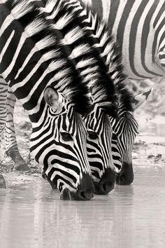 Zebra Trio by Rudi Hulshof - Photo 86908735 / 500px