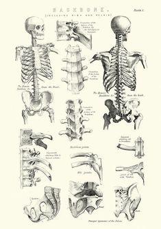 Best Human Anatomy Drawing Book New Old Books & Things — Michaelmoonsbookshop Late Anatomy Reference, Art Reference, Human Spine, Human Body, Human Anatomy Drawing, Human Skeleton Anatomy, Anatomy Sketches, Arte Sketchbook, Body Anatomy