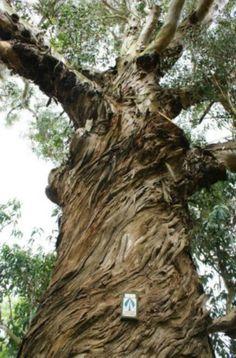 152 best fauna e flora amaznica images on pinterest exotic rainhas da floresta rvores gigantes podem desaparecer amambai notcias queenswoodland forest fandeluxe Choice Image