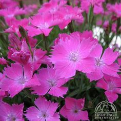 Dianthus Kahori® - Perennial from Japan forms Evergreen grey-green foliage, fragrant, lilac-pink blooms thru a long summer. Shear plants back lightly after blooming to maintain a tight, compact habit. Plants require good drainage, Full Sun, Drought Tolerant, Deer Resistant, Height: 6-8 inches