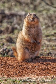 Prairie Dog at the Fort Worth Nature Center.