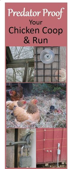 Chicken Coop - Follow these steps to predator proof your chicken coop and run, and your birds will safely enjoy their space while you sleep easily. Elevate the coop, enclose runs with properly secured half inch hardware cloth, create a skirt or underground fence, padlock the doors, and surround with electric wire in bear country. These are some of the important measures - read the details and get more tips at the link. Building a chicken coop does not have to be tricky nor does it have...