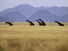namibia again from national geographic. how amazing would it be to go on a safari?