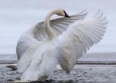 Creatures, Bird, Photography, Animals, House, Ideas, Swans, Photograph, Animales