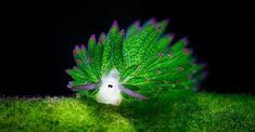 This Adorable Sea Slug Eats So Much Algae It Can Photosynthesize Sea Sheep? This Adorable Sea Slug Eats So Much Algae It Can Photosynthesize Underwater Creatures, Underwater Life, Ocean Creatures, Weird Creatures, Betta, Glaucus Atlanticus, Beautiful Sea Creatures, Sea Slug, Sea World