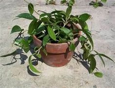 wax plants - I have these plants.
