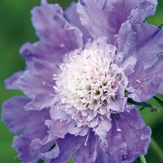 Buy pincushion flower Scabiosa caucasica Perfecta Mid Blue (Perfecta Series) - Wonderful in a naturalised setting: pot: Delivery by Crocus Dried Flower Arrangements, Dried Flowers, Sun Plants, House Plants, September Flowers, Scabiosa Pods, The Clumps, Beneficial Insects, Lavender Blue
