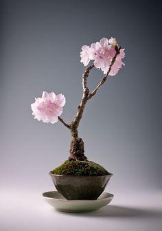 Satsuki-azalee (rhododendron Indicum Kinsai) | Bonsai | Pinterest ... Basiswissen Bonsai Baum Arten Pflege