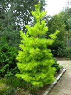 Pinus strobus 'Louis'