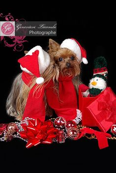 Christmas kiss! (yorkies)