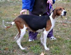 Nessie: Treeing Walker Coonhound, Dog; Elk Grove Village, IL Dog Lover Gifts, Dog Gifts, Dog Lovers, Treeing Walker Coonhound, Elk Grove, Hunting Dogs, Castiel, Animals, Animales