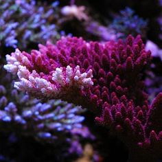 Coral absorbs negative energy and facilitates safe travel on water. Coral shows that as we embrace the future some of the past remains with us as a foundation while our branches embrace a brave new world and adapt to the challenges it offers. Coral Reef Aquarium, Saltwater Aquarium Fish, Saltwater Tank, Marine Aquarium, Aquarium Ideas, Coral Reefs, Underwater Creatures, Ocean Creatures, Pisces