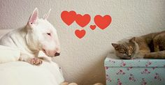 Brösel the #Bullterrier in Love