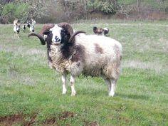 Guide to Sheep Breeds Jacob Sheep, Country Critters, Raising Farm Animals, Baa Baa Black Sheep, Sheep Breeds, Sheep And Lamb, Counting Sheep, Rare Animals, Animals Of The World
