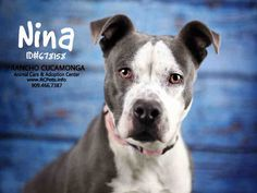 Meet NINA, a Petfinder adoptable Pit Bull Terrier Dog | Rancho Cucamonga, CA | Petfinder.com is the world's largest database of adoptable pets and pet care information....