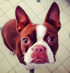 red boston terrier | Red Boston Terrier. | Adorable :)