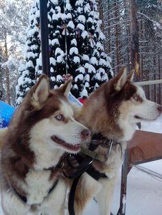 Dogs, sibirian husky